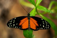 Heliconius hecale butterfly Stock Photos