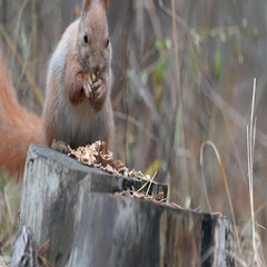 Cute red squirrel sits on the tree stump and eating walnut in the autumn park Stock Footage