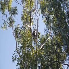 Koala sitting on tree branch in Australia Stock Footage