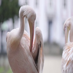 Pelican cleaning it's feathers Stock Footage