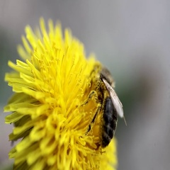 Bee collects nectar on a dandelion Stock Footage