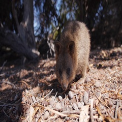 Bandicoot crawling on forest floor Stock Footage