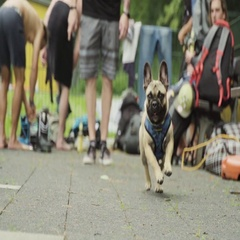 Pug fetching a stick on street Stock Footage