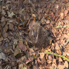 European hedgehog - Erinaceus europaeus rolled into a ball, wakes up Stock Footage