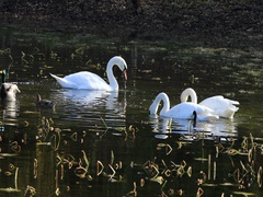 4K UltraHD Feeding pair of Trumpeter Swans, Cygnus buccinator Stock Footage