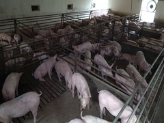 Pig swine farm ,animal domestic farm Stock Footage