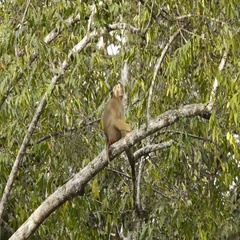Young Long-Tailed Macaque sitting on tree, filming from boat Stock Footage