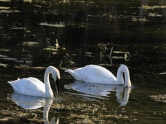 4K UltraHD Pair of Trumpeter Swan, Cygnus buccinator, feeding on pond Stock Footage