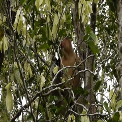 A Truly Wild Large Nosed Proboscis Monkey Eats In A Tree In Borneo Jungle Stock Footage