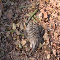 European hedgehog - Erinaceus europaeus - roaming in forest Stock Footage