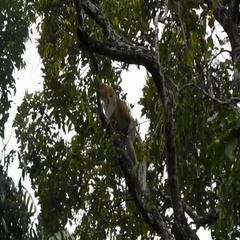 Large Nosed Male Proboscis Monkey In Forest Rainforest Endangered Species Stock Footage