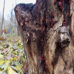 Soldiers bugs crawling on tree bark Stock Footage