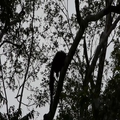 Orangutang In Bushes, Borneo Stock Footage