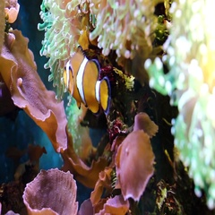 Small clown fish swims and hides in coral at an aquarium. Stock Footage