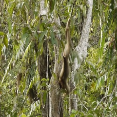 Young Long-Tailed Macaque climbing, filming from boat Stock Footage