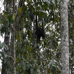 Orangutan In Bushes Among Green Foliage, Malaysia Stock Footage
