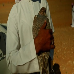 Arab man stroking a falcon. Stock Footage