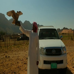 Arab man with falcon flapping on his hand at desert. Stock Footage