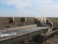 Cattle in the meadow drinking water Stock Footage