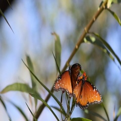 Two Monarch butterflies compete on a flower Stock Footage