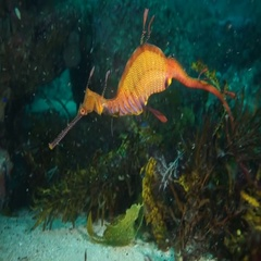 Weedy Seadragon Stock Footage