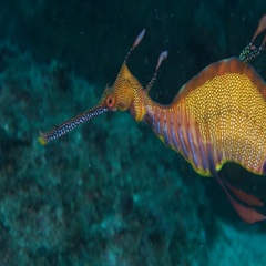 Weedy Seadragon underwater in South Australia Stock Footage