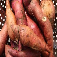Rotate fresh sweet potatoes Stock Footage