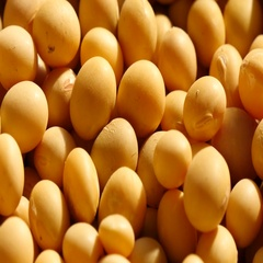 Close up of mass fresh soybeans Stock Footage