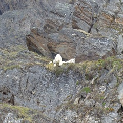 Polar Bears sleeping on a Rock in Spitsbergen Norway Stock Footage