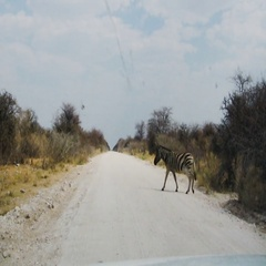Zebras crossing dusty road in african national park Stock Footage