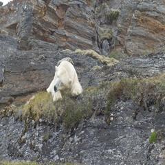 Polar Bear sleeping on a Rock in Spitsbergen Norway Stock Footage