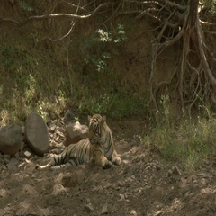 Bengal Tiger (Panthera tigirs tigris) relaxing in the shade of the dry forest Stock Footage