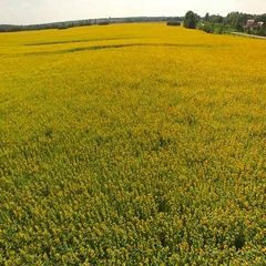 Flight to Quadrocopters Over The Field of Blossoming Sunflowers. Aerial Survey Stock Footage
