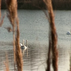 Mute Swan Family Swimming In The Lake. Dry Reed Foreground Stock Footage