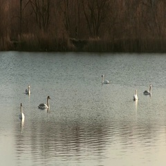 Beautiful Mute Swan Family Of Six Swimming In The Pond Stock Footage