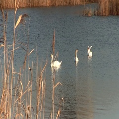 White Mute Swans Floating On The Lake In The Countyside Stock Footage