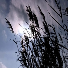 Coastal Reed Swaying Against The Sunlight In The Windy Cloudy Weather In The Cou Stock Footage