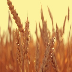 Wheat in a wheat field at sunset Stock Footage