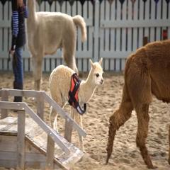 Alpaca-baby on the animals show. Stock Footage