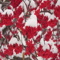 Snow-covered mountain ash Stock Footage