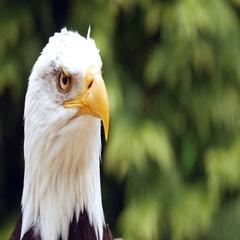 Bald eagle (Haliaeetus leucocephalus) Stock Footage