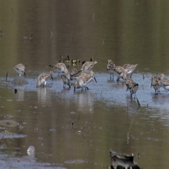 Sandpiper Birds feeding near lake in Canada Stock Footage
