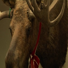 Giant Moose Head On Wall Stock Footage