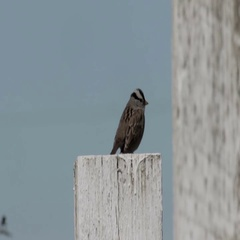 White crowned sparrow Stock Footage
