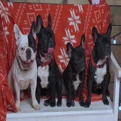 4 french bulldogs on bench at xmas time Stock Footage