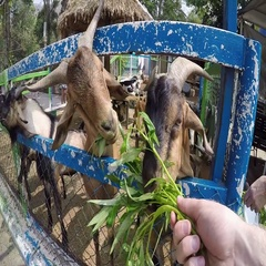 Goats eat grass from your hand. Taking the first-person Stock Footage