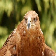 Tawny eagle (Aquila rapax) Stock Footage