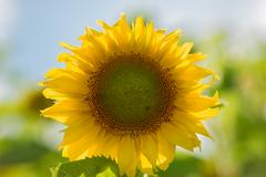 Sunflower in the field. Close-up. Summer sunny day Stock Photos