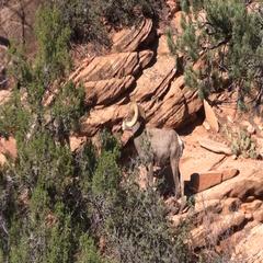 Desert Bighorn Sheep Ram in the Rut Stock Footage