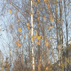 The wind shakes the branches of birch in October, the last autumn leaves fall Stock Footage